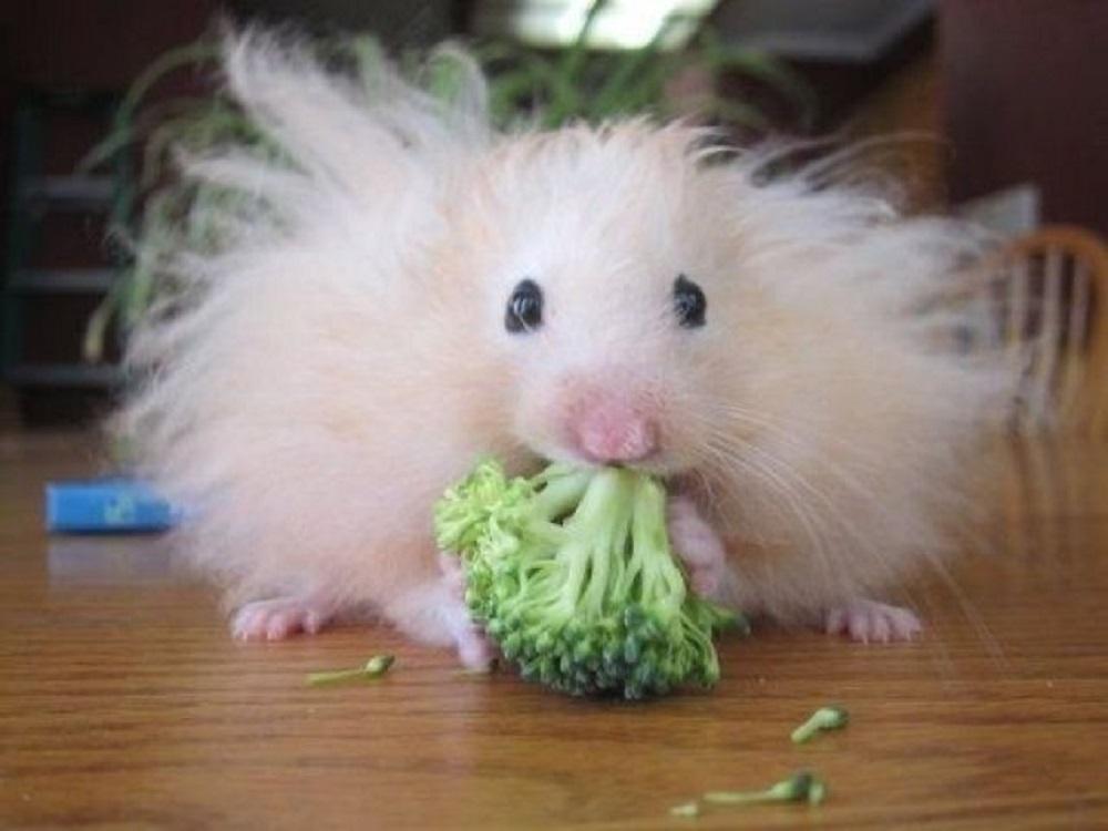 brocoli hamster photos fotografias