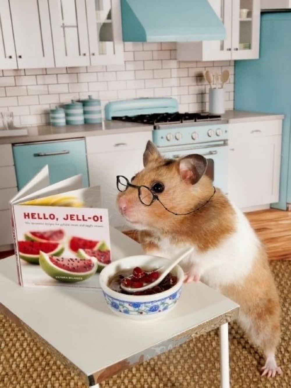 hamster cocinando photos fotos fotografias selfies hamsteres