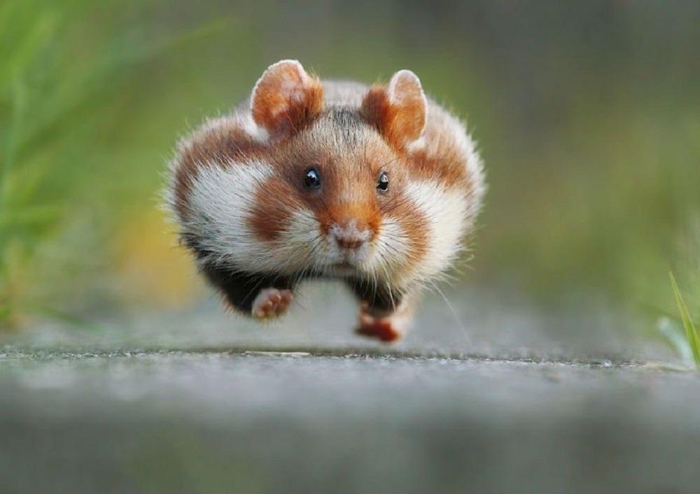 hasmter fotos fotografias de hamsteres