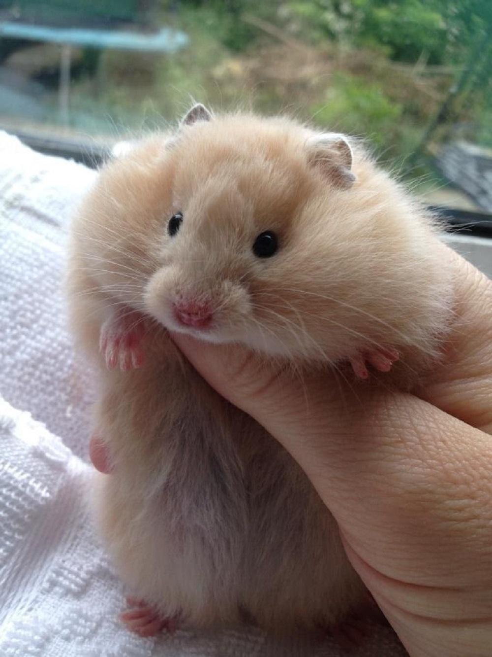fotografia de hamsteres comun sirio o dorado