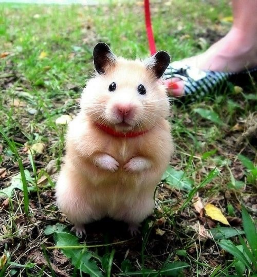 Käfig estoy paseando por el campo hamster haciendo ejercicio fotoGRAFIAS