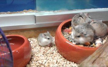 hamster-sirio-comun