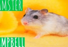 hamster-campbell