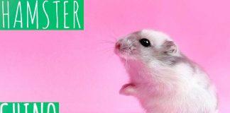 hamsters-tipos-de-hamsters