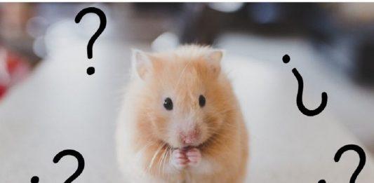 preguntas sobre hamsters respuestas dudas hamster