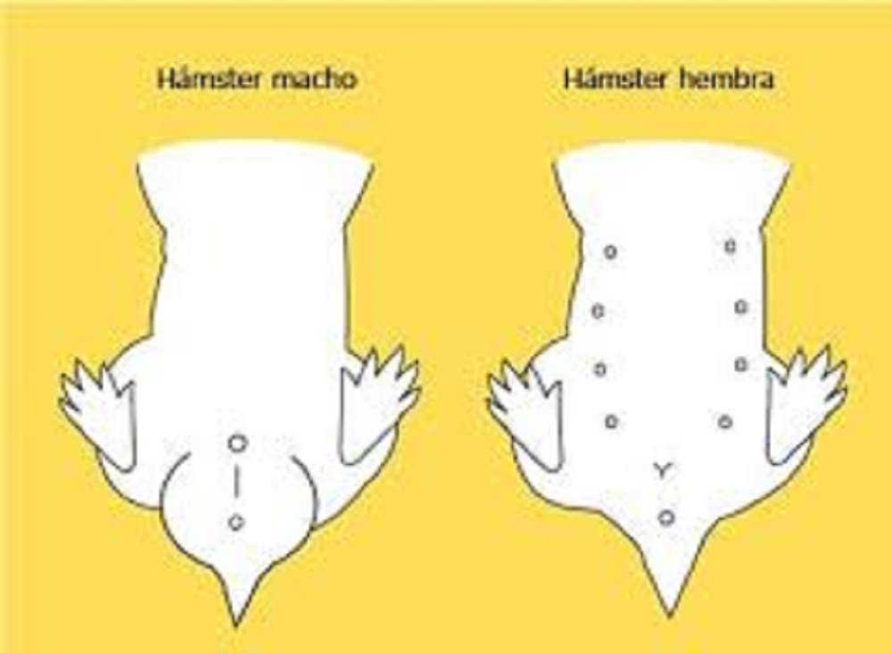 ¿Cómo saber si mi hámster es hembra o macho? preguntas sobre hamsters respuestas sobre hamsters y dudas