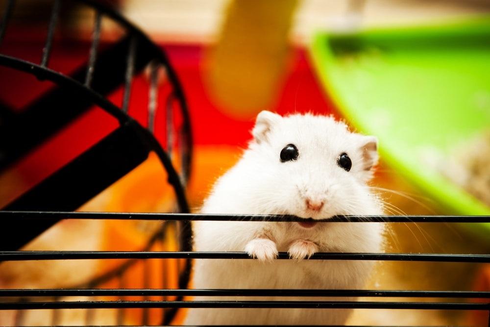 ¿Por qué puede morder un hámster? hamster mordiendo barrotes jaula
